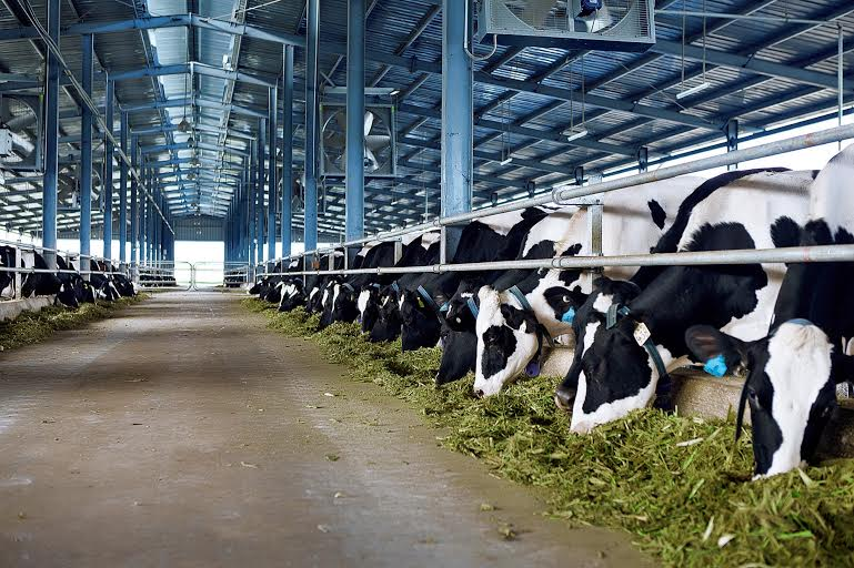 Trang trại bò sữa Hà Tĩnh của Vinamilk sử dụng hệ thống làm mát hiện đại bậc nhất thế giới
